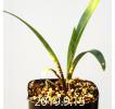 Ledebouria revoluta EQ780 Seedling 15071