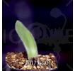 Haemanthus pauculifolius IB40732