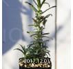 Dorstenia hildebrandtii forma crispum Seedling 5931