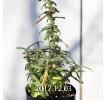 Dorstenia hildebrandtii forma crispum Seedling 5940