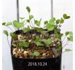Oxalis simplex Seedling 8224