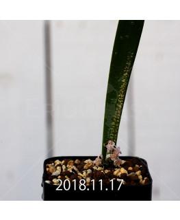 Lachenalia pygmaea EQ606 Seedling 10767
