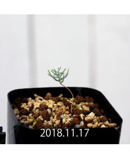 Eriospermum aphyllum IB10404 Seedling 10967