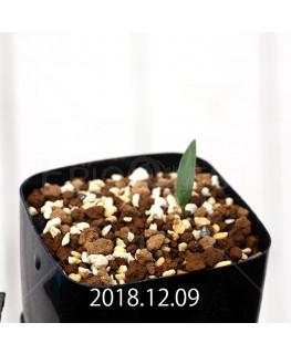 Eriospermum sp. cf. halenbergense Seedling 11183