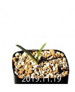 Daubenya comata EQ623 Seedling 11321