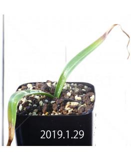 Daubenya comata EQ623 Seedling 11322
