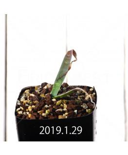 Daubenya comata EQ623 Seedling 11324
