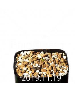 Daubenya comata EQ623 Seedling 11325