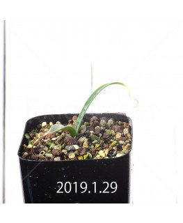 Daubenya comata EQ623 Seedling 11326