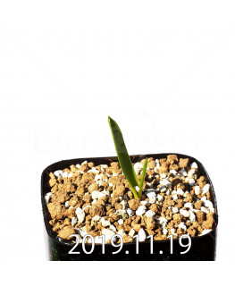Daubenya comata EQ623 Seedling 11327