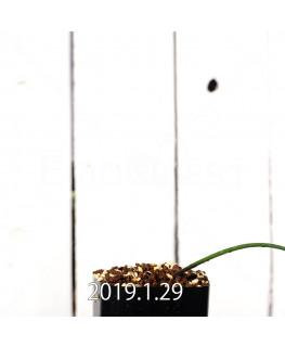 Lachenalia mutabilis EQ467 Seedling 11419