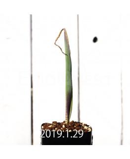 Lachenalia mutabilis EQ467 Seedling 11424