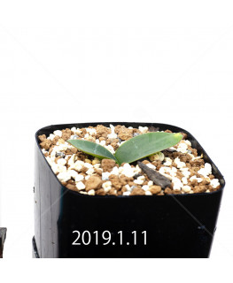 Massonia depressa EQ646 Seedling 11815