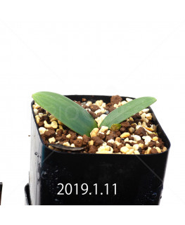 Massonia depressa EQ646 Seedling 11830