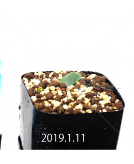Massonia depressa EQ646 Seedling 11833