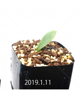 Massonia depressa EQ646 Seedling 11834