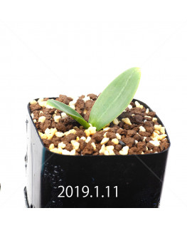 Massonia depressa EQ646 Seedling 11835