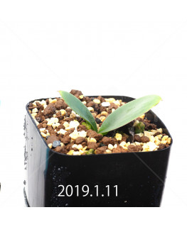 Massonia depressa EQ646 Seedling 11836
