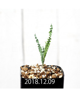 Freesia viridis ssp. crispifolia EQ649