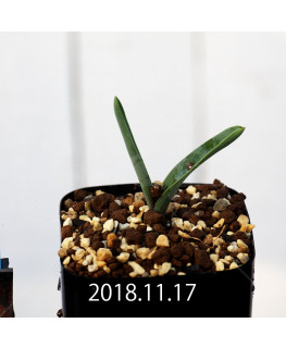 Daubenya zeyheri EQ650 Seedling 11922
