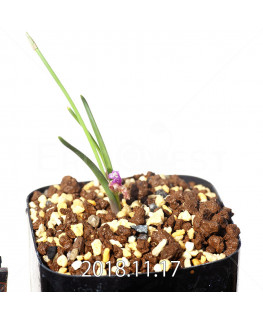Lachenalia paucifolia EQ660 Seedling 12103