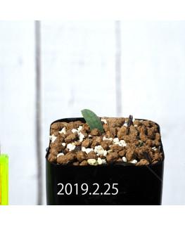 Eriospermum lanceifolium EQ722 Seedling 12723