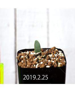 Eriospermum lanceifolium EQ722 Seedling 12724