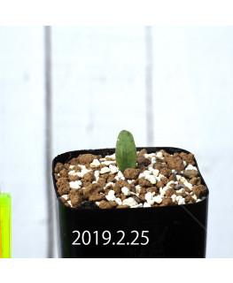Eriospermum lanceifolium EQ722 Seedling 12728