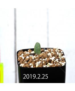 Eriospermum lanceifolium EQ722 Seedling 12734