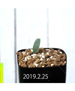 Eriospermum lanceifolium EQ722 Seedling 12735