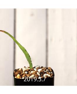 Lapeirousia azurea EQ723 Seedling 12744