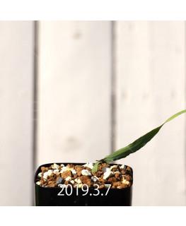 Lapeirousia azurea EQ723 Seedling 12745