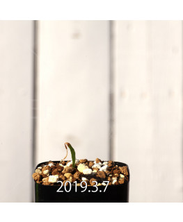 Lapeirousia azurea EQ723 Seedling 12749
