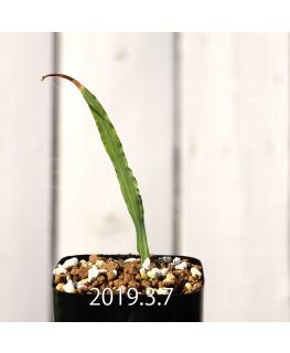 Lapeirousia azurea EQ723 Seedling 12758
