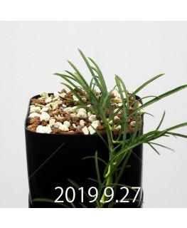 Ipomoea sp. nov. Seedling 13052