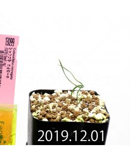 Geissorhiza corrugata EQ705 Seedling 13099