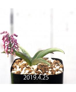 Ledebouria sp. aff. saundersonii Seedling 13347