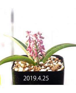 Ledebouria sp. aff. saundersonii Seedling 13354