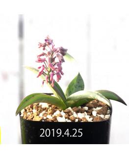 Ledebouria sp. aff. saundersonii Seedling 13355