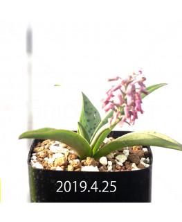 Ledebouria sp. aff. saundersonii Seedling 13358