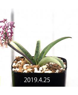 Ledebouria sp. aff. saundersonii Seedling 13362