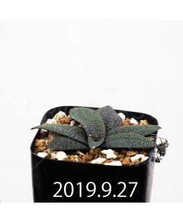 Ledebouria galpinii EQ739 Seedling 13386