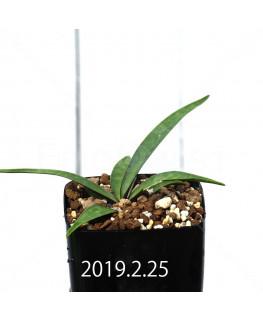 Ledebouria coriacea DMC9654 Offset 13428