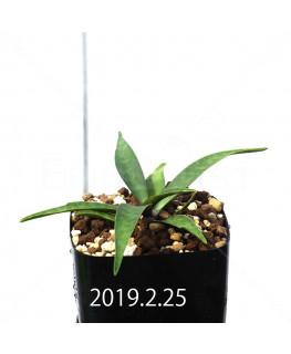 Ledebouria coriacea DMC9654 Offset 13431