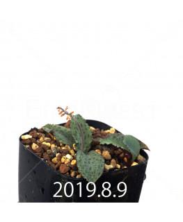 Drimiopsis sp. EQ496 Offset 13519