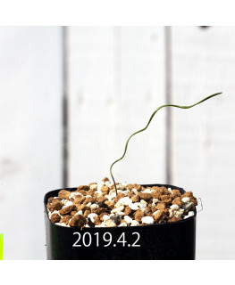 Cyrtanthus helictus EQ741 Seedling 13589