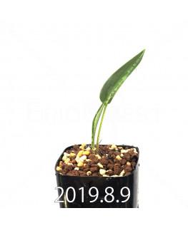 Drimiopsis atropurpurea EQ756 Seedling 13857