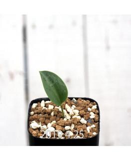 Drimiopsis atropurpurea EQ756 Seedling 13862