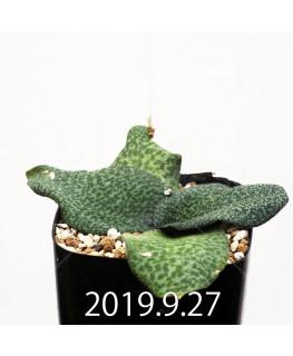 Resnova megaphylla Seedling 13977