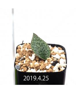Resnova megaphylla Seedling 13995